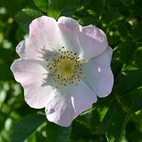 róża z bliska