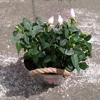 Róże na Dzień Matki