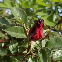 Różyczka chce zakwitnąć