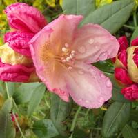 Rododendron jakuszimański.