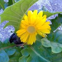 Słoneczna gerberka ;)