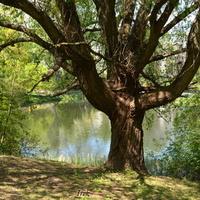 solidne drzewo nad stawem w parku