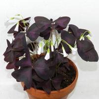 Szczawik purpurowy