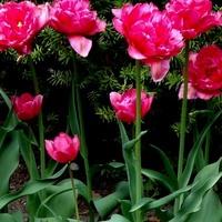 tulipany pełne