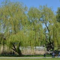 Wierzba płacząca nad stawem w parku