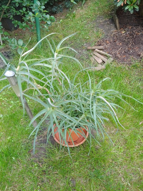 Aloes w doniczce