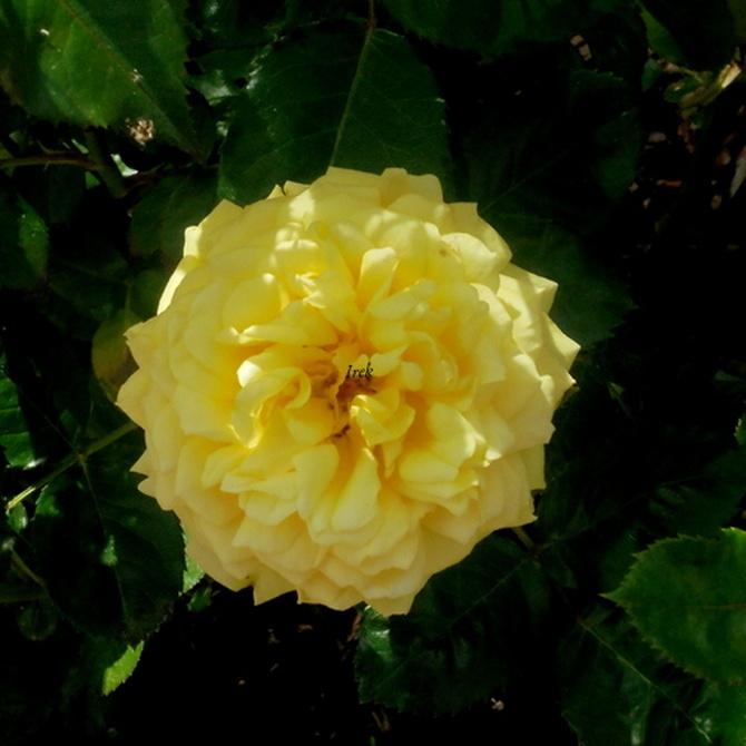 czuprynka żółtej róży