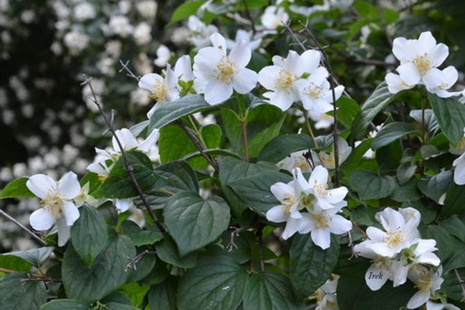 Jeszcze kwitną jaśminowce