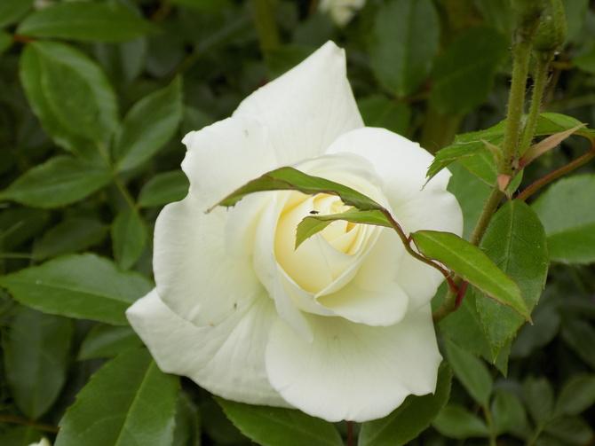 Kolejne róże rozkwitają :)