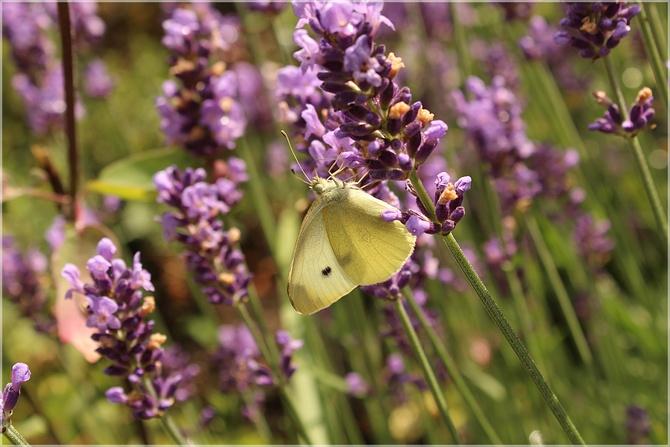 Motylek na lawendzie...