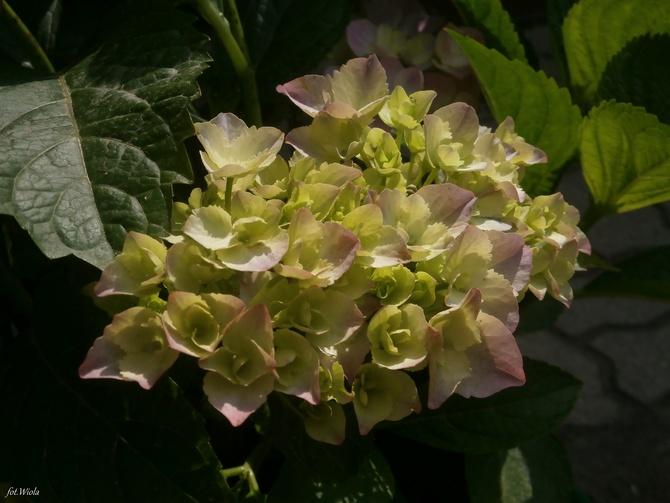 Pierwszy kwiat hortensji