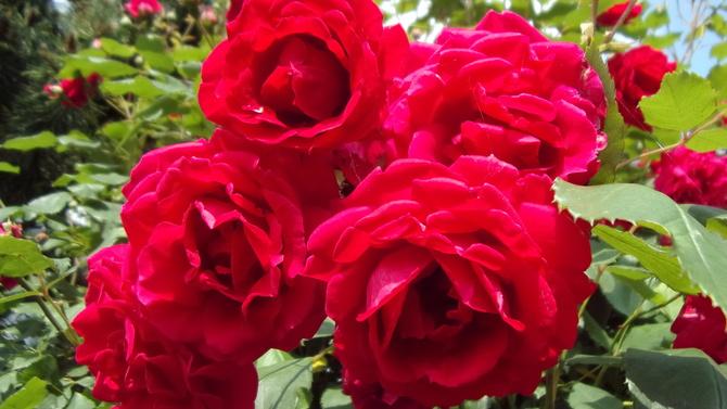 Różana pora,więc......