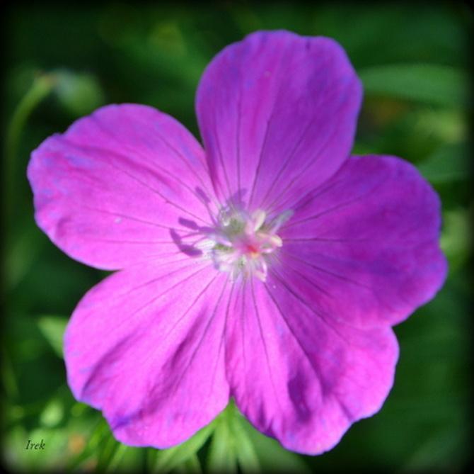 różowy kwiatek