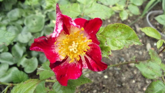 Różyczka pochodząca od hanabi,