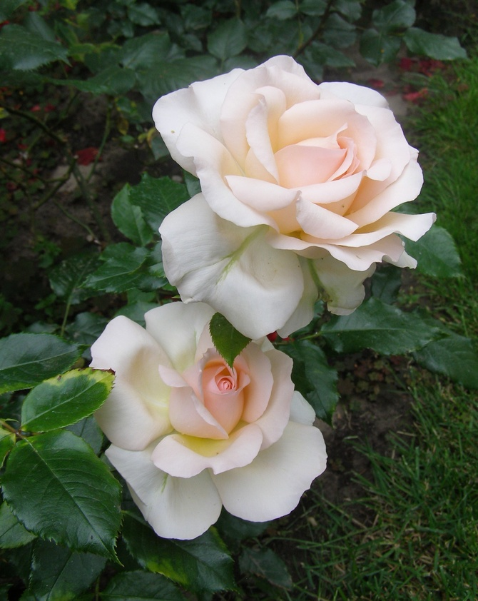 Róza Chandos Bauty
