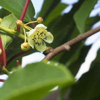 Actinidia (chiński agrest, mini kiwi)