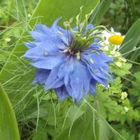 Błękitna czarnuszka.