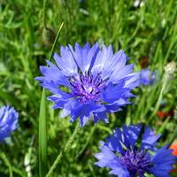 Chabry kwiaty lata