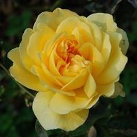 czuprynka róży