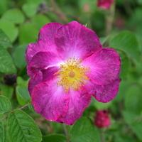 dzika róża z bliska