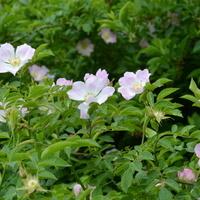 dzikie róże w szeregu
