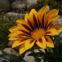 Gazaniowe słoneczko