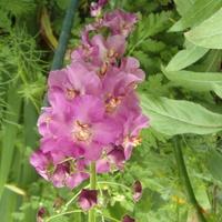Dziewanna fioletowa -pierwsze kwitnienie.