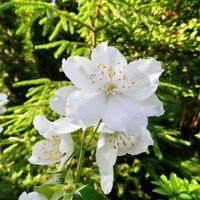 Jaśminowiec kwitnie