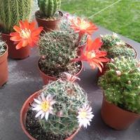 Kaktusowy zawrót głowy