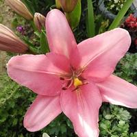 Kolejna lilia w rozkwicie ;)
