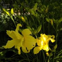 Kolejne liliowce :)