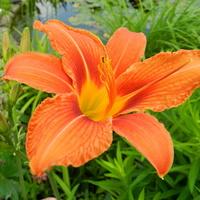 Kwiat liliowca
