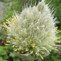 Kwiatostan cebuli siedmiolatki.