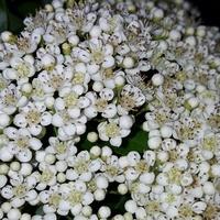 Kwiaty ognika......