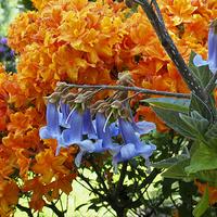 Kwiaty Paulowni i azalii