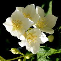 kwitną już jaśminowce