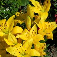 Lilia azjatycka żółta