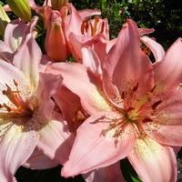 Lilia azjatycka różowa