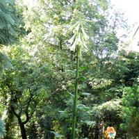 Lilia himalajska ,pierwsze kwiaty