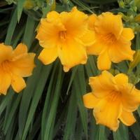 liliowce pomarańczowe