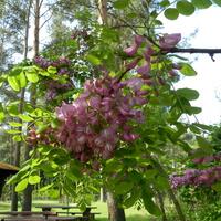 Miododajna akacja różowa