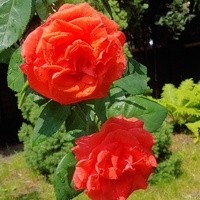 Moja róża wielkokwiatowa