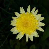 żółta.....