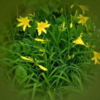 żółte liliowce