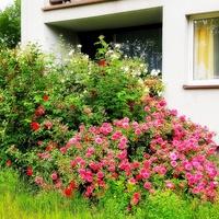 osiedlowy miłośnik róż ;)