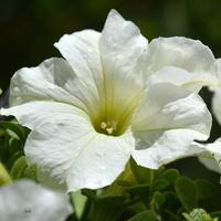 petunia biała trochę wzruszona