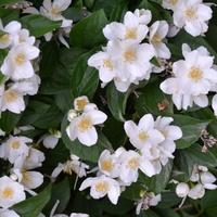 Pięknie kwitną jaśminowce