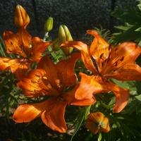 Pierwsza lilia