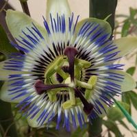 Pierwszy kwiat męczennicy :)