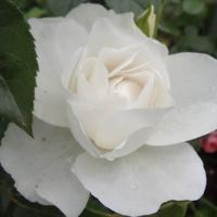 Róża cała na biało.